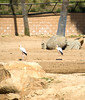 San Diego Wild Animal Park, Photo Caravan Safari - Yellow-Billed Stork
