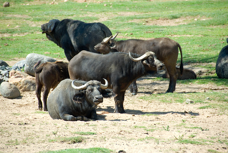 San Diego Wild Animal Park, Photo Caravan Safari - Indian Gaur