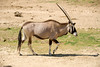 San Diego Wild Animal Park, Photo Caravan Safari - Gemsbok or South African Oryx