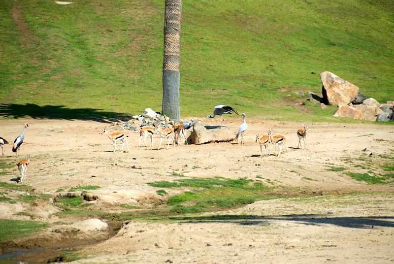 San Diego Wild Animal Park, Photo Caravan Safari - Thomson's Gazelle, Blue Crane (center), East African Crowned Crane (left)