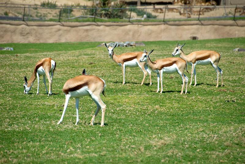 San Diego Wild Animal Park, Photo Caravan Safari - Thomson's Gazelle