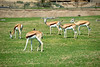 San Diego Wild Animal Park, Photo Caravan Safari - Thomson's Gazelle
