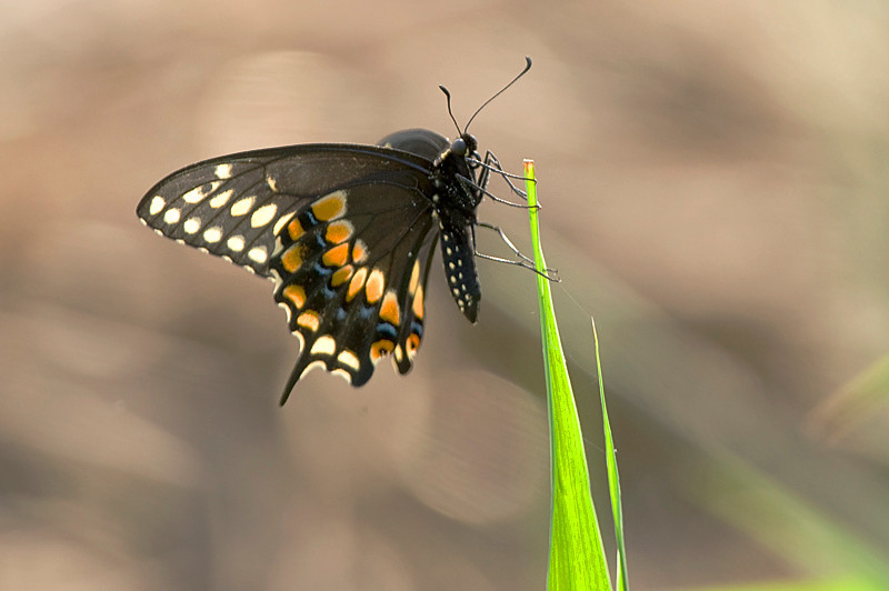 Spicebush Swallowtail (Papilio troilus) at Bombay Hook National Wildlife Refuge