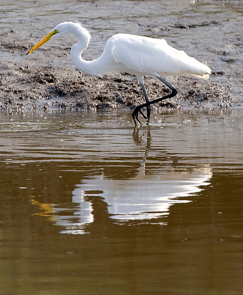 Great Egret at Bombay Hook National Wildlife Refuge