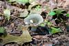 Russula redolen mushroom at Bombay Hook National Wildlife Refuge