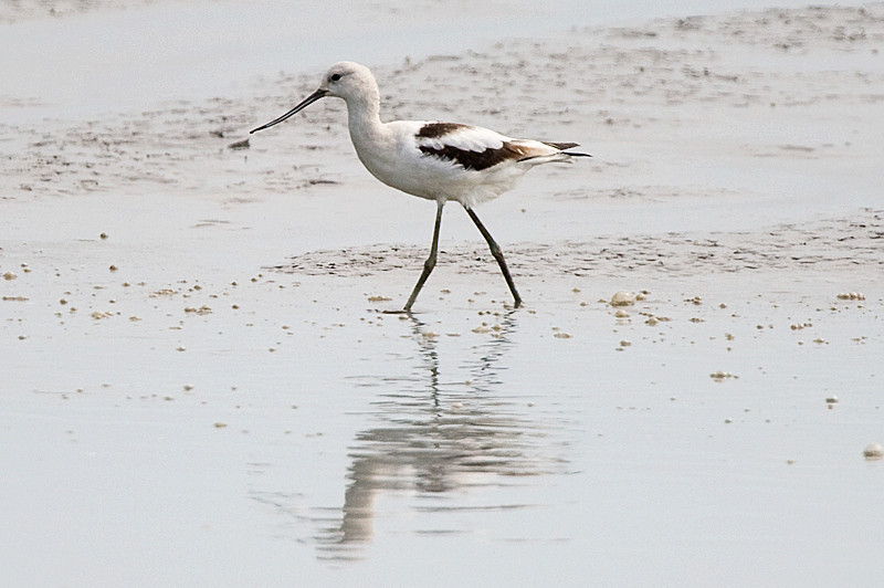 American avocet at Bombay Hook National Wildlife Refuge