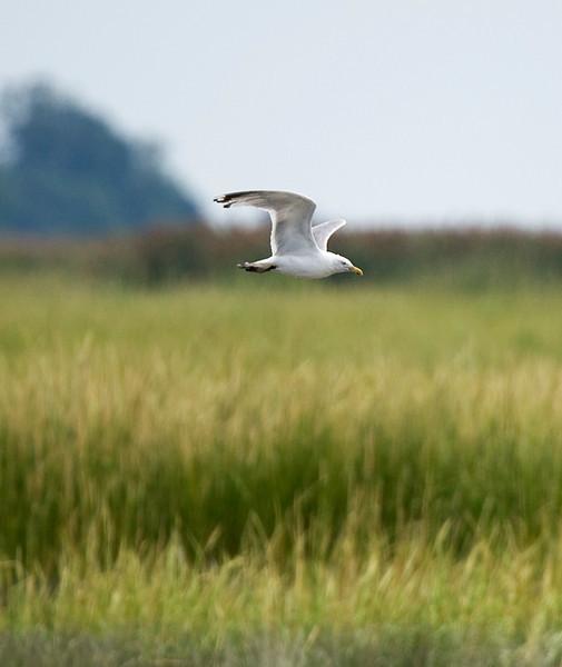 Glaucous gull at Bombay Hook National Wildlife Refuge