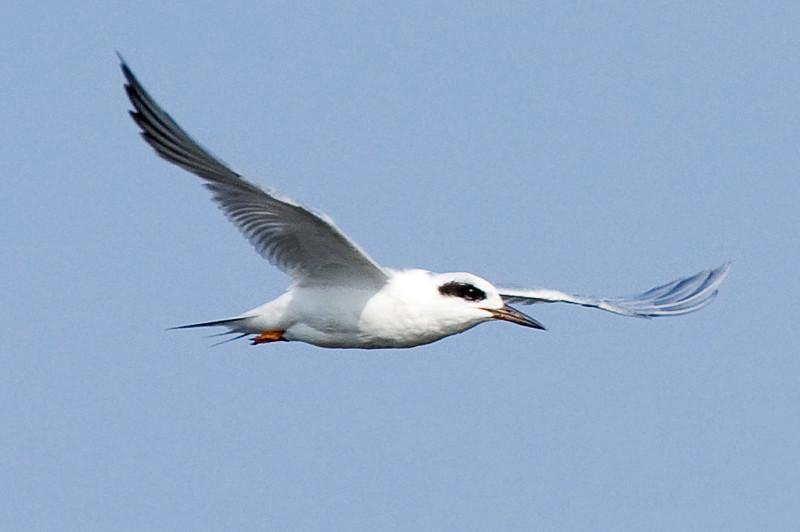Forster's Tern at Bombay Hook National Wildlife Refuge