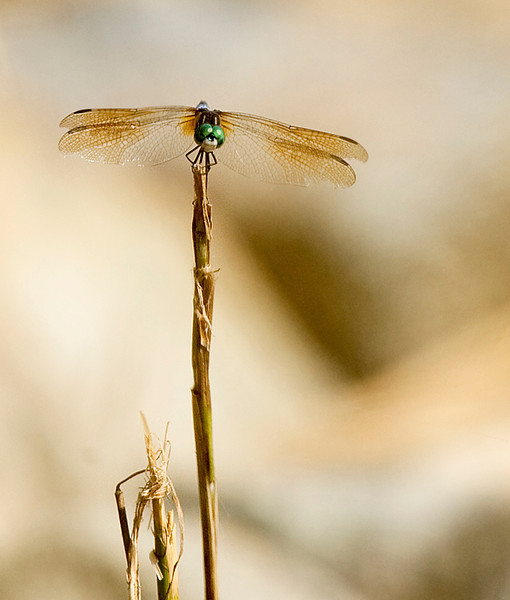 Green eyed skimmer dragonfly at Bombay Hook National Wildlife Refuge