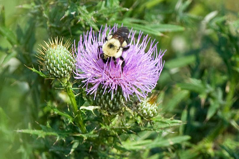 Common Eastern Bumble Bee (Bombus impatiens) at Bombay Hook National Wildlife Refuge