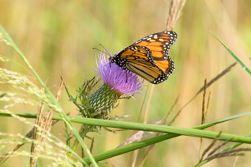 Monarch butterfly (Danaus plexippus) at Bombay Hook National Wildlife Refuge