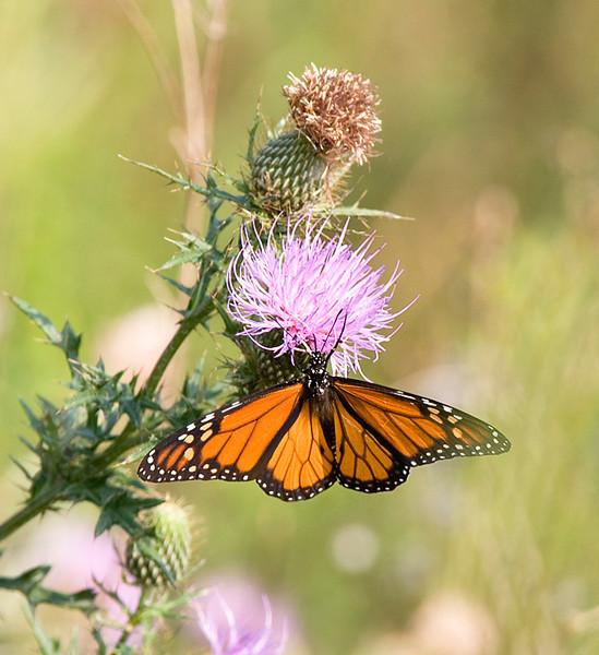 Monarch butterfly (Danaus plexippus) at Bombay Hook National Wildlife Refuge