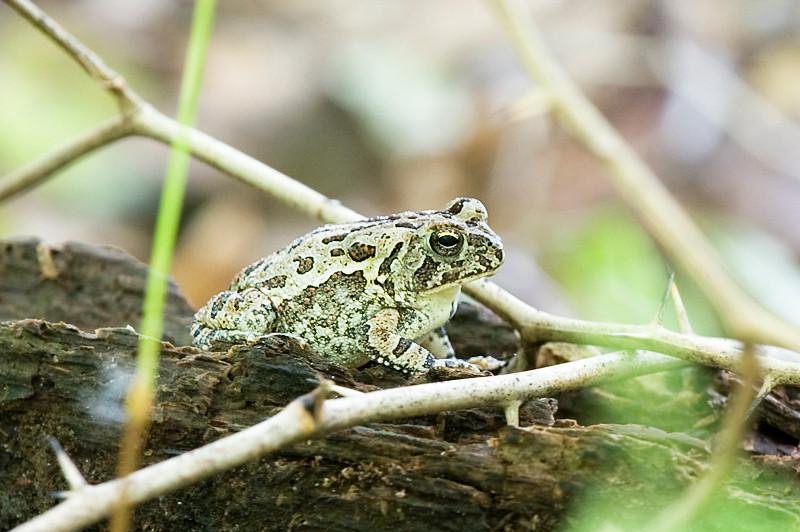 Eastern green toad at Bombay Hook National Wildlife Refuge