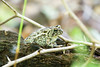 Eastern green toad at Bombay Hook National Wildlife Refuge
