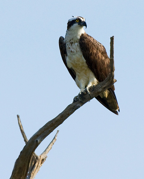 Osprey at Bombay Hook National Wildlife Refuge