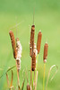 Typha (Cattail or Bullrush) at Bombay Hook National Wildlife Refuge