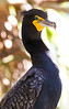 Double-crested Cormorant, adult breeding at Flamingo Gardens, Everglades Wildlife Sanctuary
