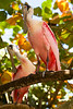 Roseate Spoonbill at Flamingo Gardens, Everglades Wildlife Sanctuary
