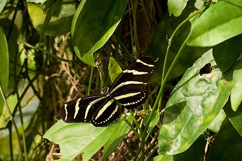 Zebra Heliconian Butterfly at Flamingo Gardens, Everglades Wildlife Sanctuary