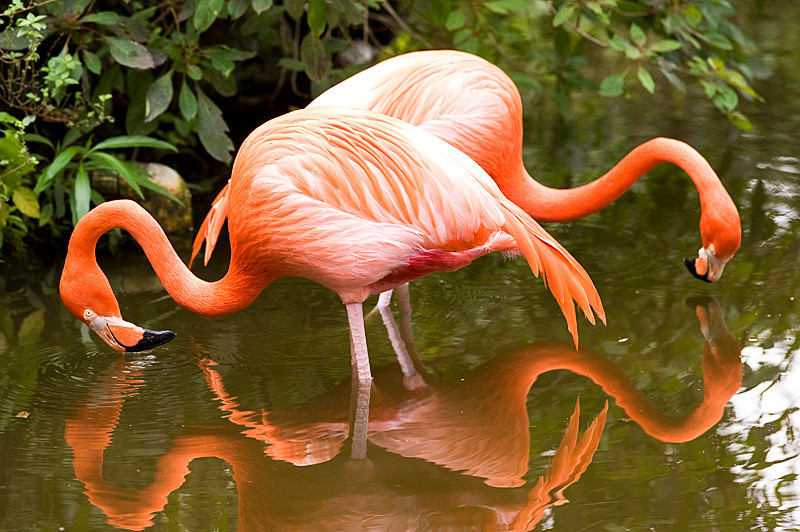 American Flamingo at Flamingo Gardens, Everglades Wildlife Sanctuary