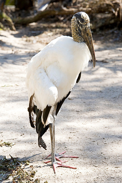 Wood Stork at Flamingo Gardens, Everglades Wildlife Sanctuary