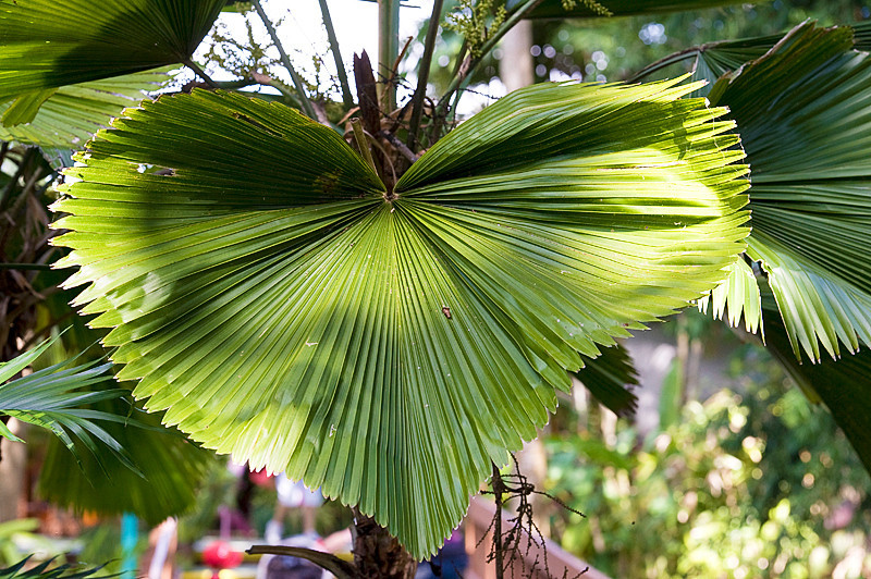 Fiji Fan Palm Tree at Flamingo Gardens, Everglades Wildlife Sanctuary