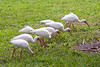 White Ibis at Flamingo Gardens, Everglades Wildlife Sanctuary