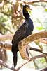 Double-crested Cormorant, Breeding adult at Flamingo Gardens, Everglades Wildlife Sanctuary