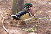 Wood Duck, male breeding at Flamingo Gardens, Everglades Wildlife Sanctuary