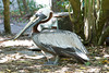 Brown Pelican, Adult breeding Atlantic at Flamingo Gardens, Everglades Wildlife Sanctuary