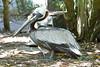 Brown Pelican, Adult breeding Atlantic at Flamingo Gardens, Everglades Wildlife Sanctuary