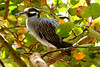 Yellow-crowned Night-Heron, Adult breeding at Flamingo Gardens, Everglades Wildlife Sanctuary