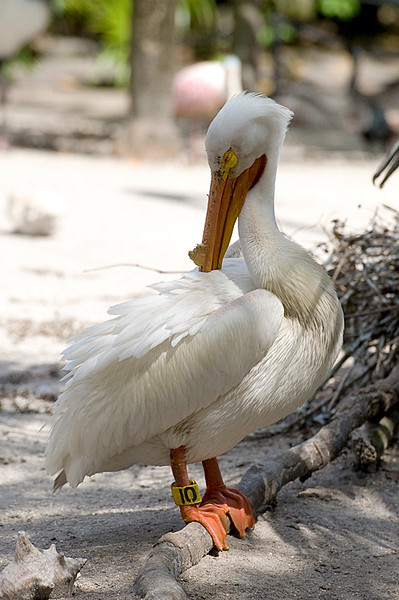 American White Pelican, adult breeding at Flamingo Gardens, Everglades Wildlife Sanctuary
