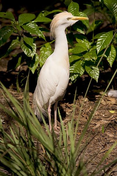 Cattle Egret adult breeding at Flamingo Gardens, Everglades Wildlife Sanctuary