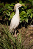 Cattle Egret adult breeding at Flamingo Gardens, Everglades Wildlife Sanctuary