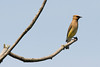 Cedar Waxwing at the John Heinz National Wildlife Refuge at Tinicum