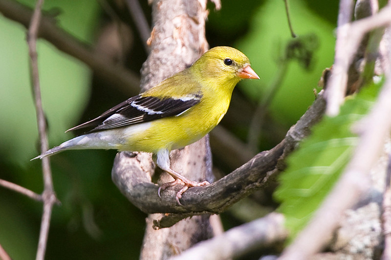 American Goldfinch, adult female non-breeding at John Heinz National Wildlife Refuge at Tinicum