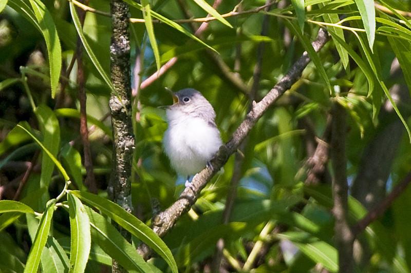 Baby Willow Flycatcher at John Heinz National Wildlife Refuge at Tinicum