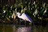 Great Egret with a common carp in its bill at John Heinz National Wildlife Refuge