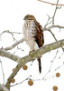 Sharp-shinned Hawk - Accipiter striatus at John Heinz National Wildlife Refuge at Tinicum