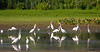Great Egrets at the John Heinz National Wildlife Refuge at Tinicum