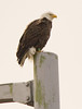 Bald Eagle at John Heinz National Wildlife Refuge at Tinicum