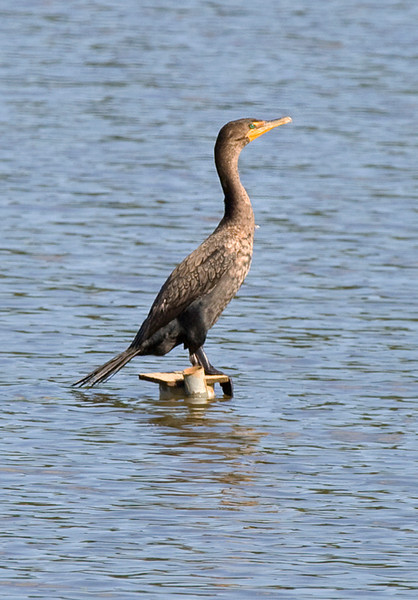 Double-crested Cormorant at the John Heinz National Wildlife Refuge at Tinicum
