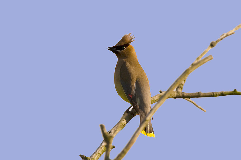 Cedar Waxwing at John Heinz National Wildlife Refuge at Tinicum