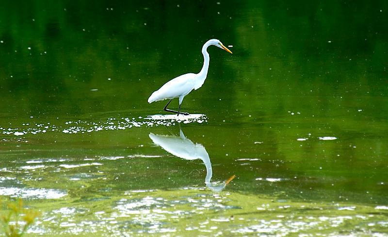 Great Egret at John Heinz National Wildlife Refuge at Tinicum