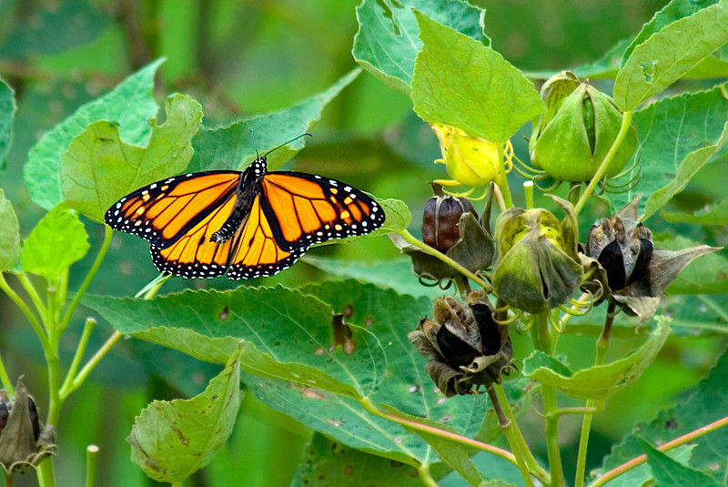 Viceroy Butterfly at John Heinz National Wildlife Refuge at Tinicum