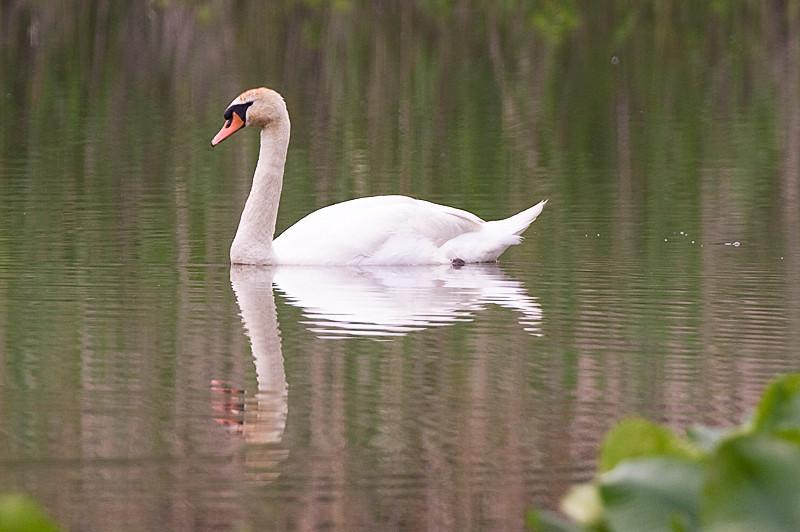 Mute Swan at John Heinz National Wildlife Refuge