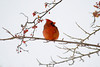Cardinal at John Heinz National Wildlife Refuge at Tinicum in snow storm