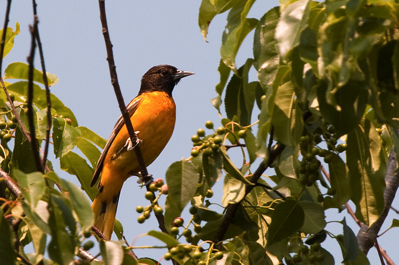 Baltimore Oriole at John Heinz National Wildlife Refuge at Tinicum