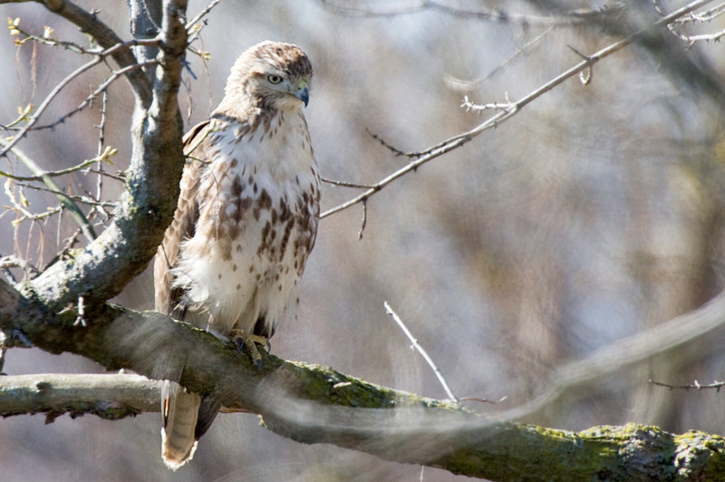 Red Tailed Hawk at John Heinz National Wildlife Refuge at Tinicum